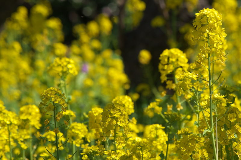 Yellow Flower Flowering Plant Plant Beauty In Nature Growth Field Oilseed Rape Freshness Agriculture Vulnerability  Land Fragility Crop  Selective Focus Mustard Plant Rural Scene Nature No People Day Springtime Outdoors
