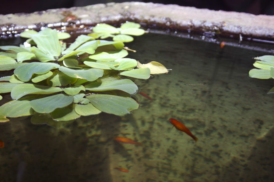 Beauty In Nature Close-up Freshness Goldfish Green Color Leaf Selective Focus Water Water Plants