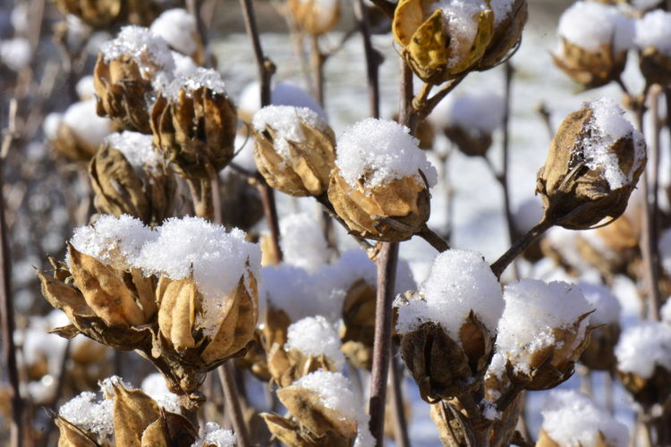 China Rose Beauty In Nature Close-up Cold Temperature Day Focus On Foreground Fragility Freshness Frozen Hibiscus Rosa Sinensis Last Snow Nature No People Outdoors Seed Capsules China Rose Seed Vessel In Winter Snow Weather White Color Winter