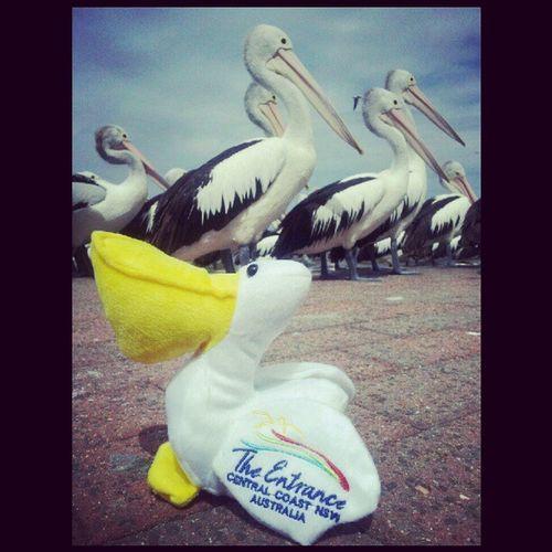 Pelican Theentrance