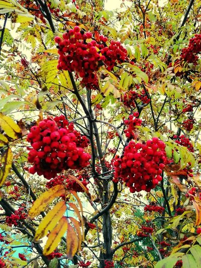 Red Tree Beauty In Nature No People Day Rowanberry