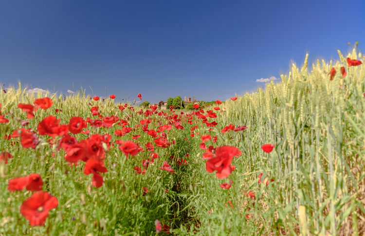 Beauty In Nature Clear Sky Close-up Day Field Flower Flower Head Fragility Freshness Grass Growth Nature No People Outdoors Plant Poppy Red Rural Scene Sky Summer