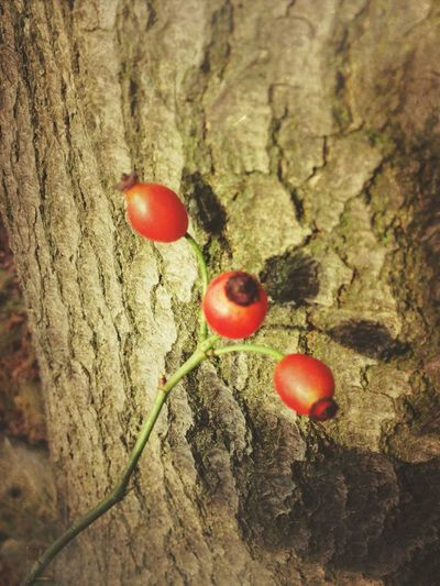 Rose hips against a tree trunk Autumn Autumnal Bark Beauty Berries Berry Copy Space Copyspace Fall Fruit IPhoneography Nature Outdoors Plant Red Ripe Rosehip Tree Twig Victoria Gardner