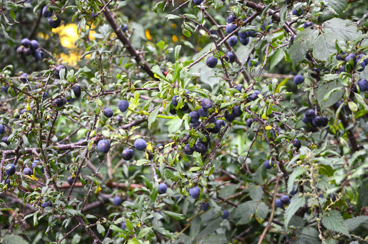 So many sloes! Looking forward to the sloe gin which will be ready by Christmas. Prunus Spinosa Abundance Berries And Leaves Blackthorn Food Food And Drink Fruit Growth Harvest Time Healthy Eating Nature Nature's Bounty Outdoors Plant Sloes Drupes