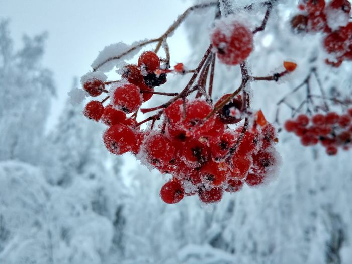 Frozen rowanberry Rowanberry Winter Snow Red Tree Snowflake Snow Cold Temperature Winter Red Frozen Frost Christmas Ice