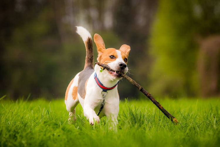 Dog running in a field with a stick