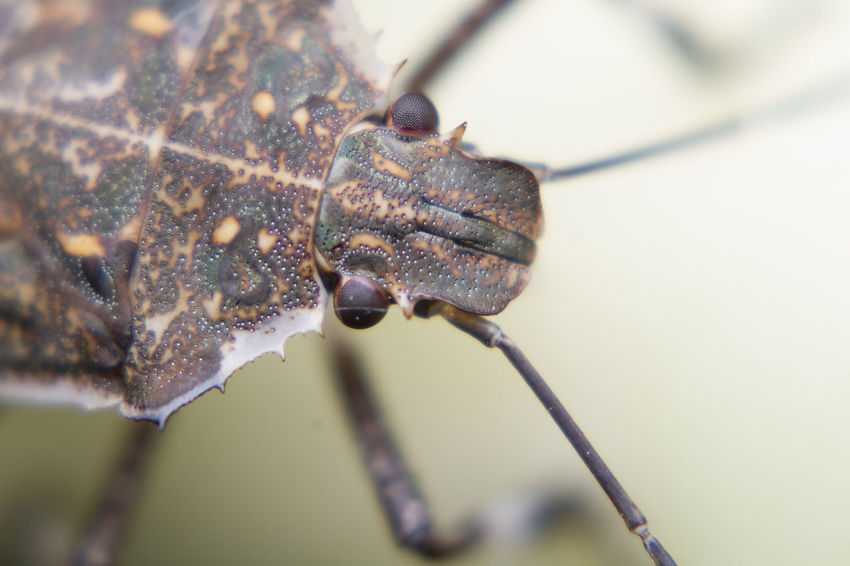 Halyomorpha halys Animal Animal Themes Animal Wildlife Animals In The Wild Beauty In Nature Close-up Day Extreme Close-up Focus On Foreground Growth Halyomorpha Halys Insect Invertebrate Leaf Nature No People One Animal Outdoors Plant Plant Stem Selective Focus