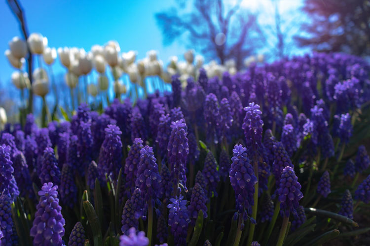 tulips and hyacinths Plant Purple Flower Flowering Plant Growth Beauty In Nature Vulnerability  Fragility Freshness Nature Close-up No People Land Day Field Selective Focus Lavender Lavender Colored Focus On Foreground Flower Head Springtime