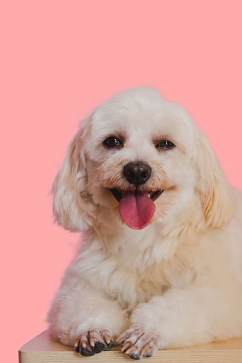 Portrait of dog sticking out tongue