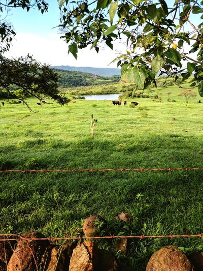 Agriculture Tree Field Nature Growth Outdoors Day Green Color Landscape Rural Scene Beauty In Nature Grass No People Sky Tea Crop Freshness Cows In A Field Cattle Jalisco, México Jalisco Los Altos Altos De Jalisco Mexico Rancho First Eyeem Photo
