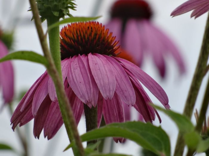 Flower Fragility Petal Flower Head Beauty In Nature Plant Growth Freshness Close-up Nature Focus On Foreground No People Day Coneflower Blooming Outdoors Eastern Purple Coneflower