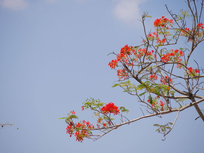 Flame tree Plant Sky Low Angle View Tree Growth Beauty In Nature Nature Flowering Plant Flower Fragility Freshness Vulnerability  Day Branch No People Clear Sky Copy Space Outdoors Leaf Plant Part Bunch Of Flowers Cherry Blossom