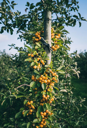 little yellow apples on a green tree | daylight photography Beauty In Nature Blue Sky Close-up Daylight Photography Focus On Foreground Food Fruit Fruit Tree Green Color Growth Light And Shadow Nature No People Outdoors Plant Tree Yellow