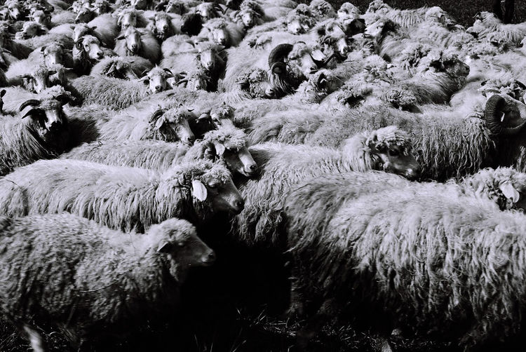 Flock of sheep at farm