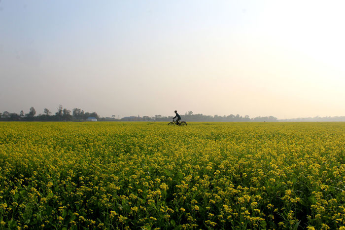 Mustard Fields Agriculture Beauty In Nature Bicycle Clear Sky Day Field Flower Freshness Growth Landscape Mustard Mustard Plant Nature Oilseed Rape One Person Outdoors People Rural Scene Scenics Sky Tranquil Scene Tranquility Tree Yellow
