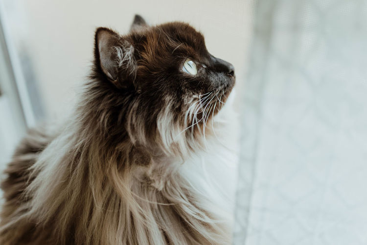 Whisker Profile View Small Maine Coon Cat Brown Feline Close-up Animal Hair No People Focus On Foreground Vertebrate Hair Cat Looking Away Domestic Animals Indoors  Animal Themes Mammal Animal Domestic Pets Looking Domestic Cat Animal Head  One Animal