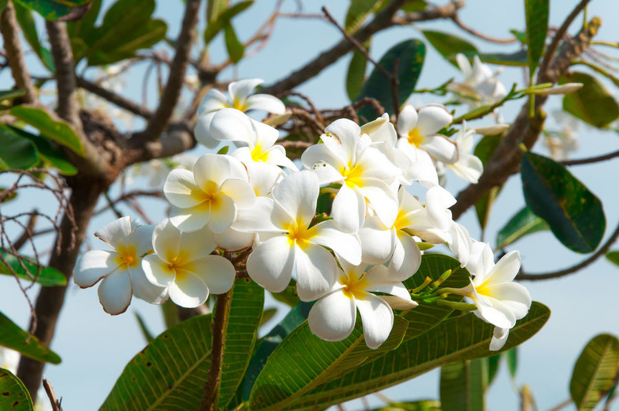 White Plumeria Beauty In Nature Blooming Branch Close-up Day Flower Flower Head Fragility Frangipani Freshness Growth Leaf Nature No People Outdoors Petal Plumeria Plumeria Blossoms Plumeria Flowers Plumeria Tree Springtime Tree White White Color White Flowers