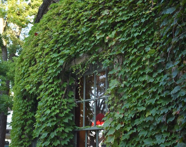 Terrace UW Madison Wisconsin Architecture Building Building Exterior Built Structure College Covering Creeper Plant Day Glass - Material Green Color Growth House Ivy Leaf Nature No People Outdoors Plant Plant Part Tree University Window