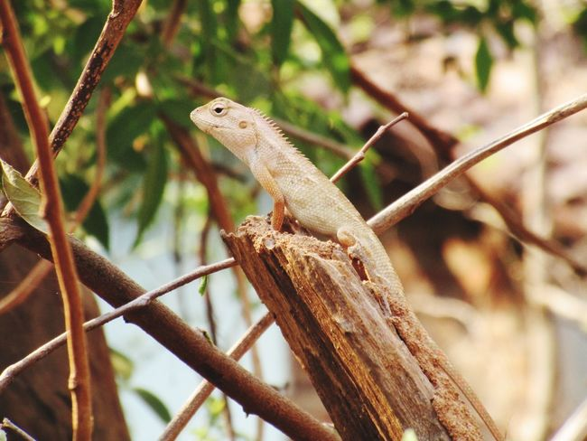 EyeEm Selects Reptile Tree Iguana Branch Lizard Camouflage Close-up Animal Eye