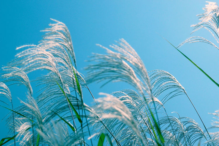 Reed Growth Sky Plant Nature Low Angle View Day No People Beauty In Nature Close-up Blue Tranquility Outdoors Sunlight Clear Sky Focus On Foreground Land Window Colors Cat Silence Autumn EyeEmNewHere Autumn Mood