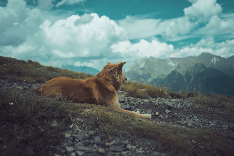 Side View Of Dog Relaxing On Mountain