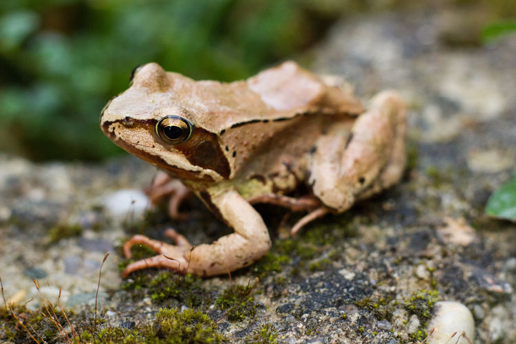 Amphibian Amphibious Animal Themes Animal Wildlife Animals In The Wild Close-up Common Frog Day European Common Frog Focus On Foreground Frog Nature No People One Animal Outdoors Rock - Object