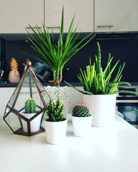 Potted Cactuses On Table