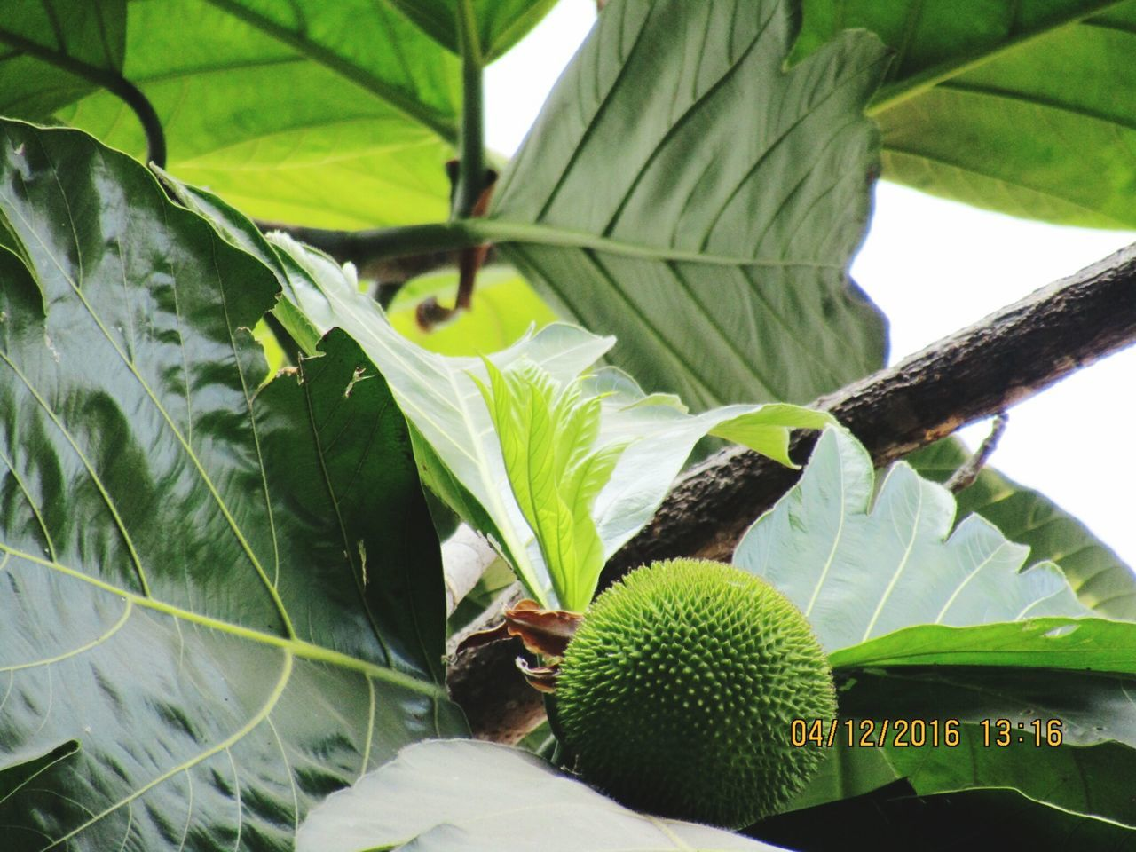 leaf, growth, green color, plant, nature, day, no people, close-up, outdoors, beauty in nature, banana tree, freshness, fragility, animal themes