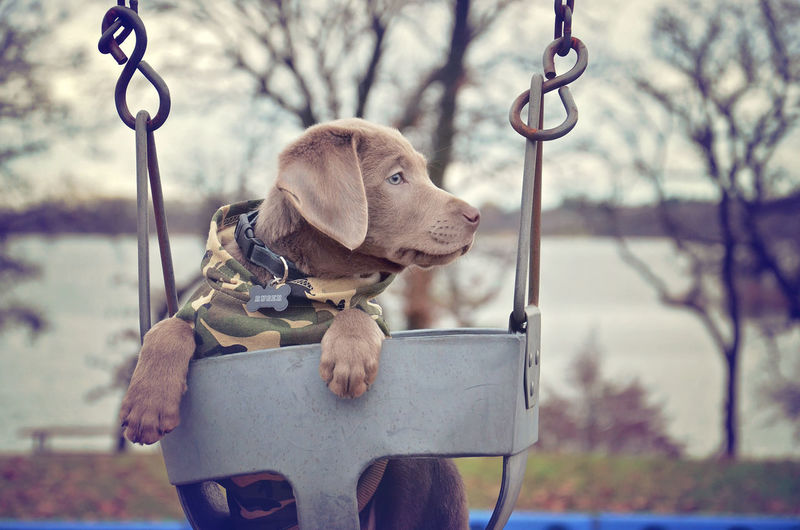 Chocolate labrador puppy looking away on swing at park