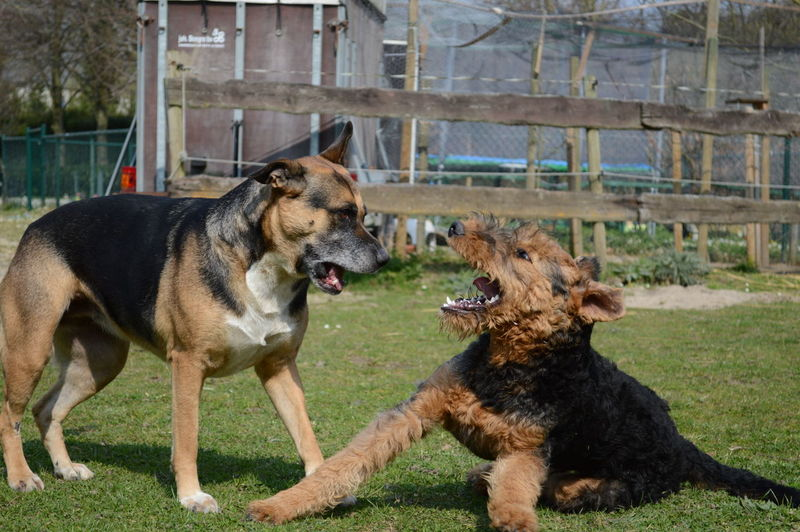 Airedale Plaing Dogs Romping Two Dogs