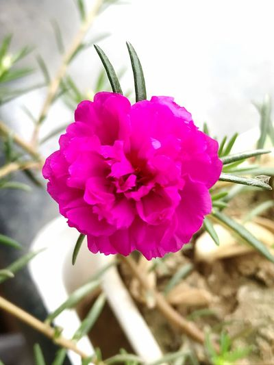 Happy new year everyone Pink Flower Petal Fragility Nature Beauty In Nature Flower Head Plant Pink Color Freshness No People Blooming Growth Day