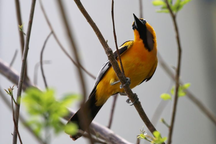 Low angle view of streak-backed oriole perching on branch