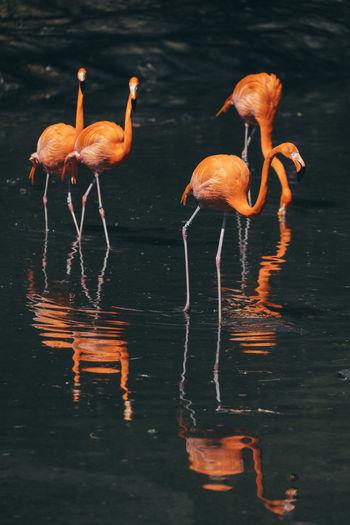 Flamingoes in lake
