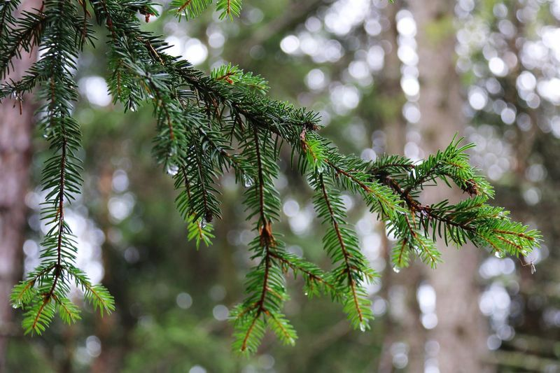 EyeEm Selects wet handtree Tree Green Color Growth Pine Tree Nature Christmas Christmas Tree Pinaceae Needle - Plant Part Close-up Branch Focus On Foreground Beauty In Nature No People Day Celebration Spruce Tree Fir Tree Outdoors Needle Wet Rain Rainy Days Eyemphotography