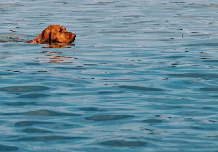 Budapest Danube Hungary Nature Vizsla Animal Themes Dog Domestic Animals Mammal Nature Nature_collection Naturelovers No People One Animal Outdoors Pets Swimming Water Waterfront