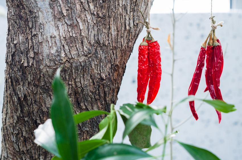 Red chili peppers Binded Chili Pepper Close-up Day Green Color Nature No People Plant Red Tree