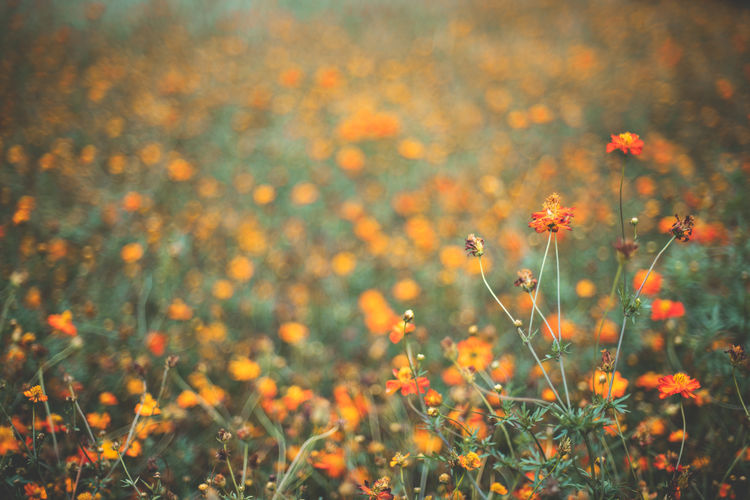 Cosmos Flower Flower Flowering Plant Plant Growth Fragility Beauty In Nature Freshness Field Vulnerability  Land Selective Focus Nature Close-up No People Tranquility Day Outdoors Flower Head Inflorescence Orange Color