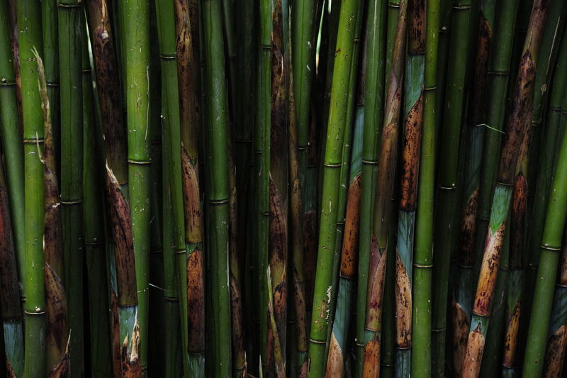 Full frame shot of bamboos