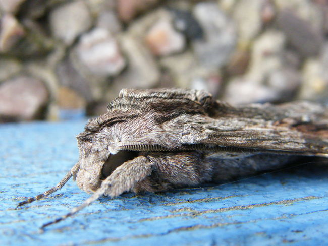 Hawk Moth Moths Sphinx Pinastri Animal Themes Animal Wildlife Animals In The Wild Butterflies And Moths Close-up Day Grey Moth Moth Nature No People One Animal Outdoors Pine Hawk Moth