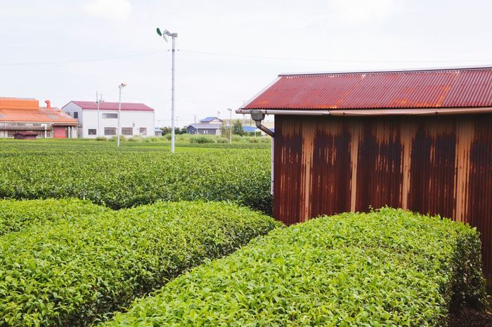 Green Tea Farm Fields Japan Japanese  Countryside Outdoors Shizuoka