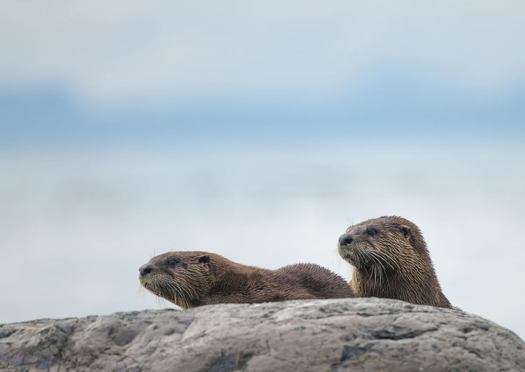 Close-Up Of Otters Looking Away On Rock Against Sky