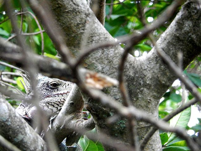 Amazon River Amazona Amazonas Animals In The Wild Green Color Iguana Lizard Lizard Watching Lizards Nature Reptile Tree Amazon Amazon Rainforest Animal Animal Wildlife Beauty In Nature Camouflage Animals Forest Iguanas Landscape Reptile Photography Reptiles South America Staring