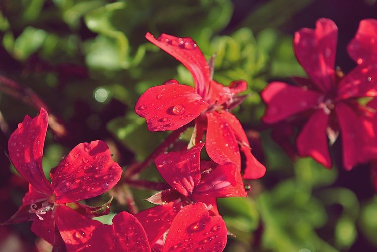 Close-Up Of Wet Red Flowers Blooming Outdoors