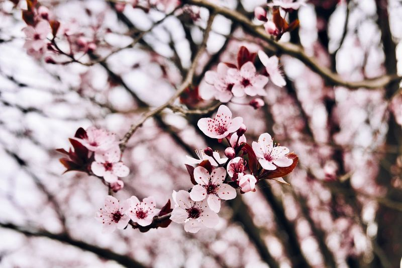 Flower Flowering Plant Plant Freshness Tree Beauty In Nature Growth Focus On Foreground Springtime Blossom Close-up Nature Vulnerability  Inflorescence Petal Day Pink Color Flower Head Branch Fragility