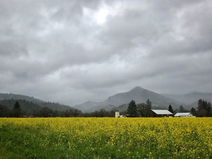 Scenic view of oilseed rape field against dramatic sky