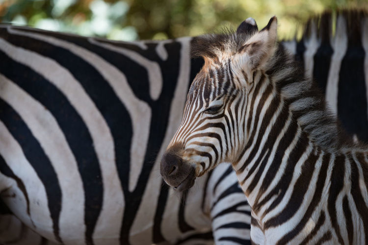 Close-Up Of Zebra And Fowl In Forest