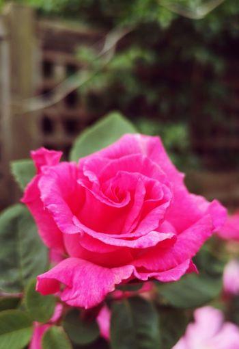 Zephirine Drouhin Flower Head Flower Peony  Pink Color Petal Rose - Flower Close-up Plant Rosé In Bloom Blossom Blooming Single Rose Pink