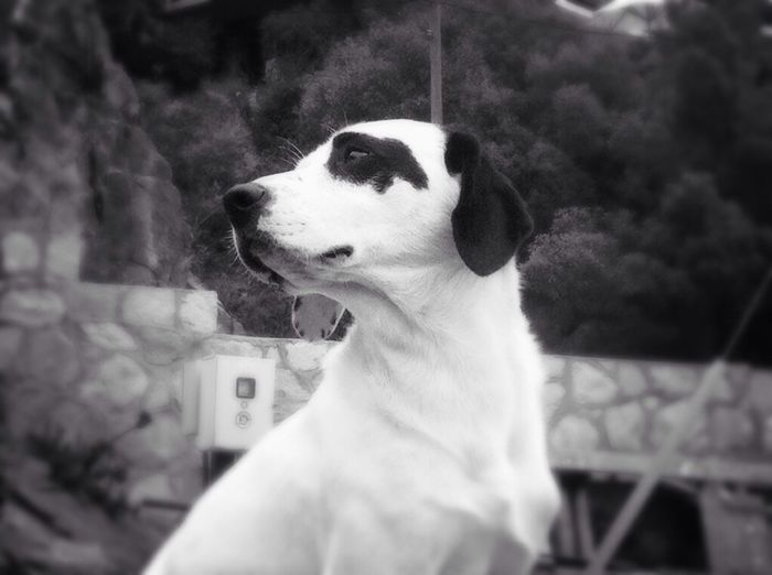 Pirata ?? Black & White Doglovers
