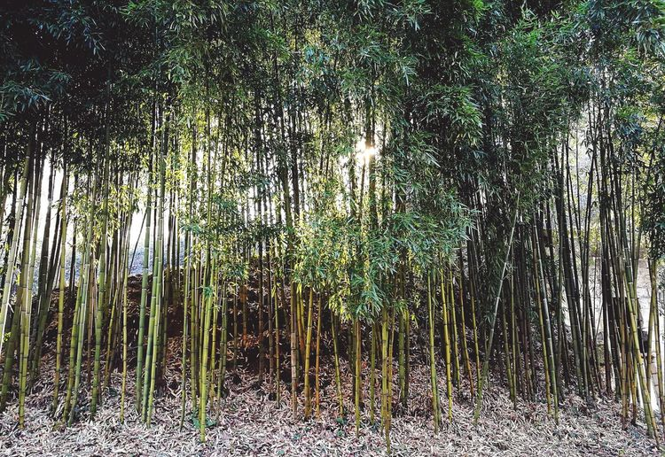 Nature Green Color Bamboo Grove Beauty In Nature Freshness
