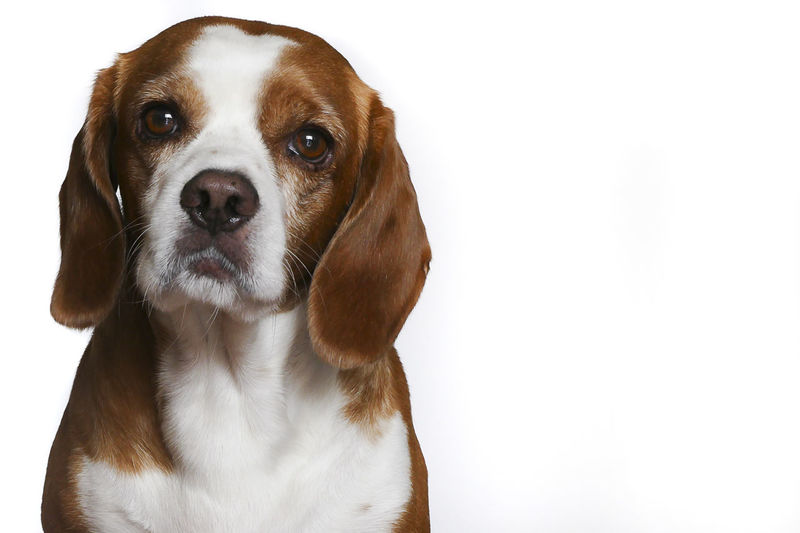 Beagle isolado en blanco Animal Animal Themes Beagle Close-up Cute Dog Domestic Animals Looking At Camera Mammal Mascota No People One Animal Pets Portrait Puppy Sitting Studio Shot White Background Young Animal